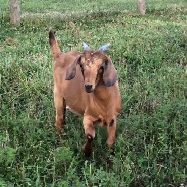 K-SQUARED RANCH – Boer & Kiko Goats